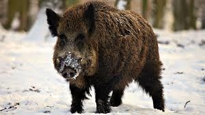 boar112